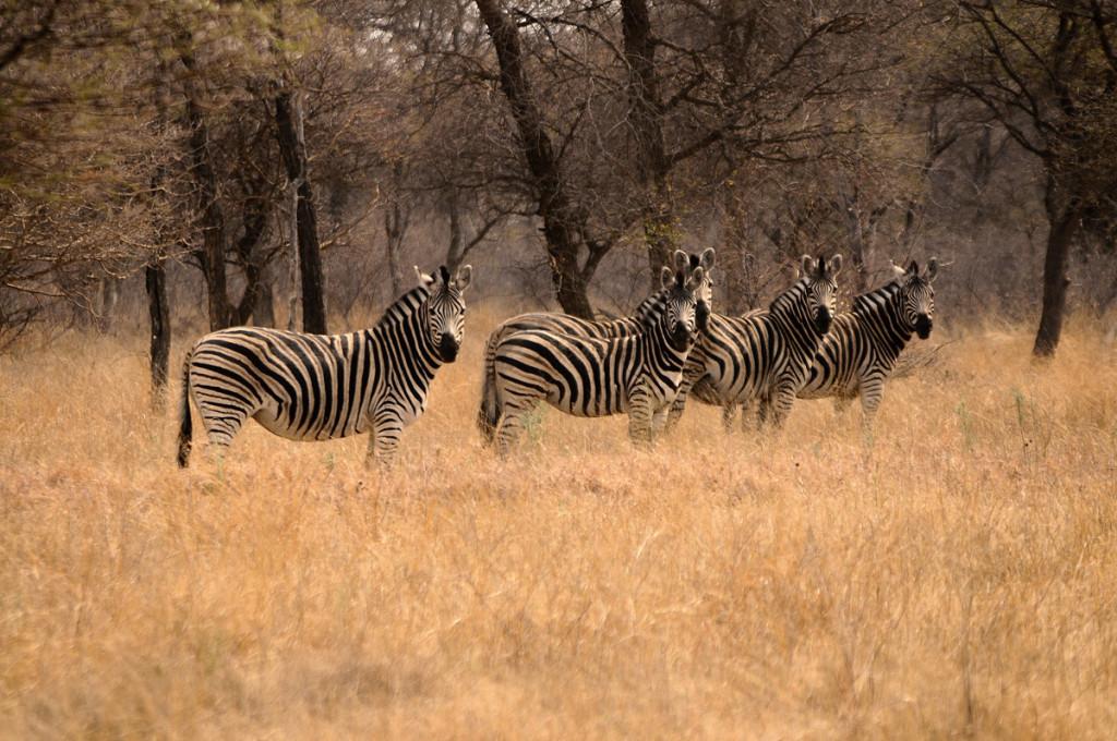BLA_Zebras_CAW_8689