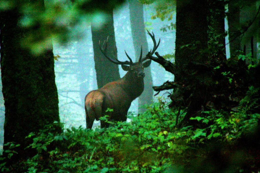 07-v-lese-je-jelen-v-neustaolm-pohybe