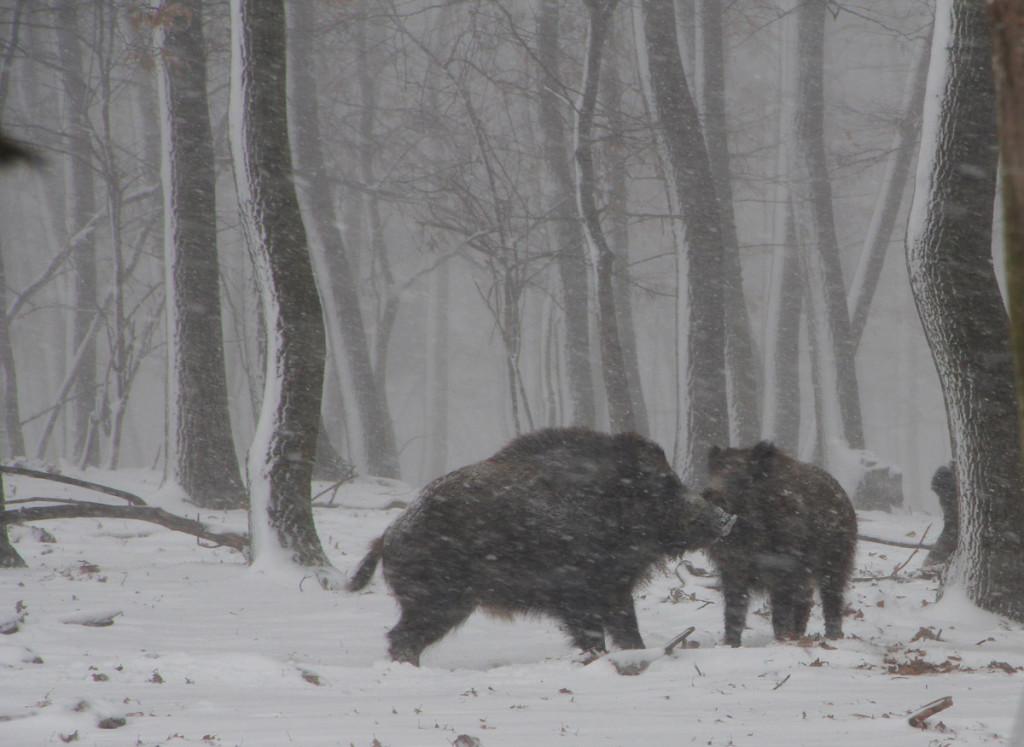 7 - V tuhej zime sa dva kanci pohašterili o diviačicu