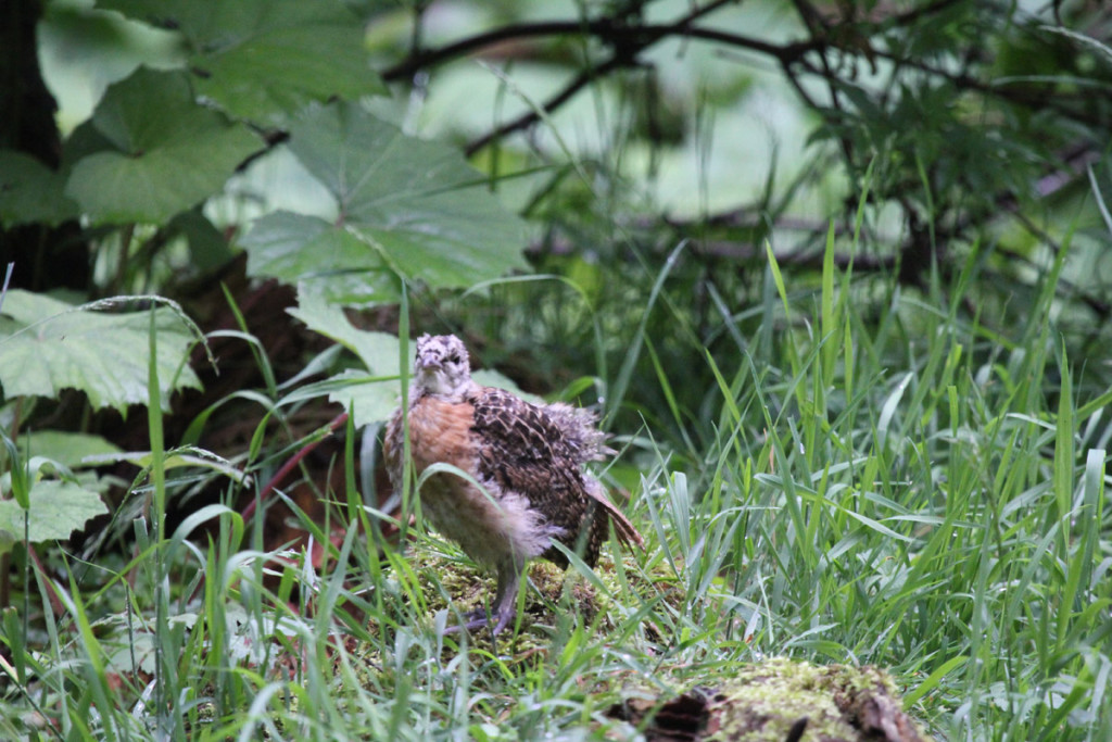 Hlucháň hôrny -mláďa