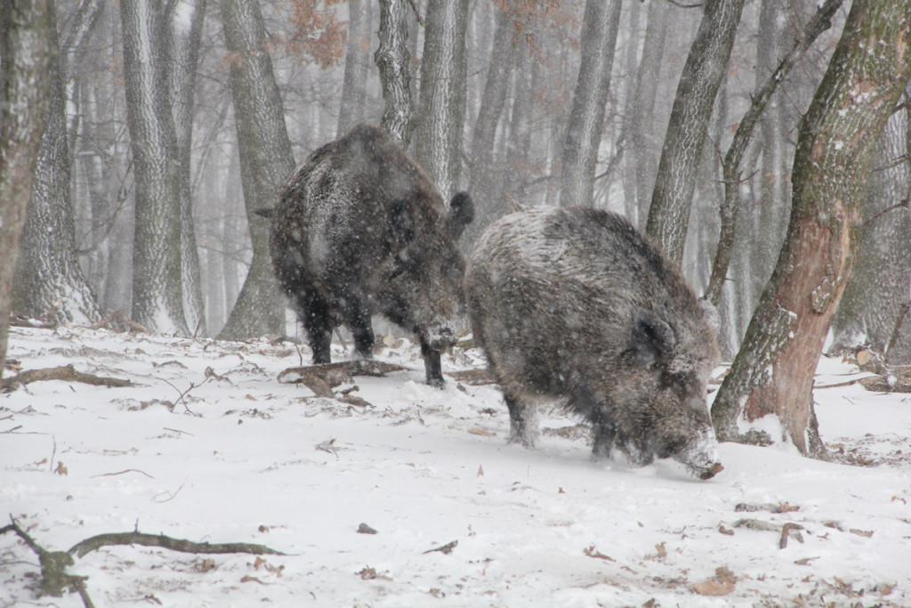 Kanec sa rúti v snehovej pľúšti za diviačicou